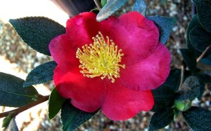 Yuletide Camellia bring beautiful color in December/January.
