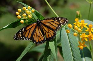 Monarch Butterfly on Milkweed - photographed by Derek L. Ramsey