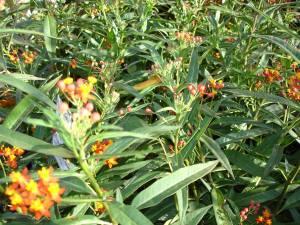 -Milkweed (Aslepias)