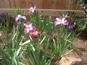 April blooming Louisiana Iris.