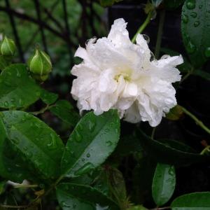 Rain on Madame Plantier.