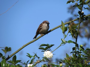 Sparrow on a white rose bush.