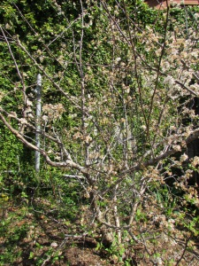 This spring the Mexican plum is full of flowers.