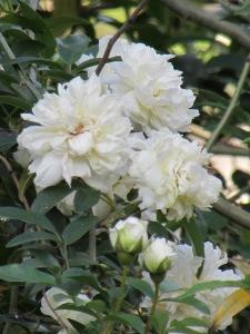 Madame Plantier Rose Alba, 1835