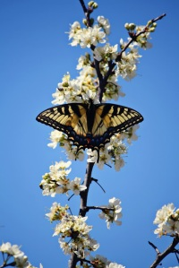 Tiger Swallowtail on a Mexican plum. Photo credit Olivia Johnston