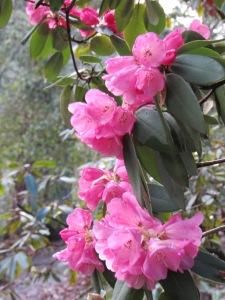 Rhododendron in Hendricks Park