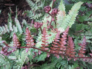 Autumn fern with new leaves unfurling.