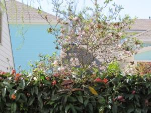 Scientific name: Magnolia x soulangiana Pronunciation: mag-NO-lee-uh x soo-lan-jee-AY-nuh Common name(s): Saucer Magnolia Family: Magnoliaceae USDA hardiness zones: USDA hardiness zones: 5 through 9A