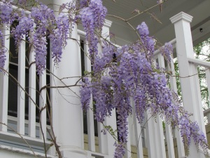 I love looking out my window and seeing the wisteria climbing up onto the cottage porch.