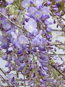 Wisteria blooms.