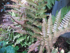Autumn Fern in spring.