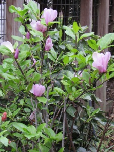 Here is our little transplanted Tulip magnolia we saved from a rip out.