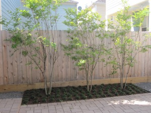 Muskogee Crape myrtle privacy screen.