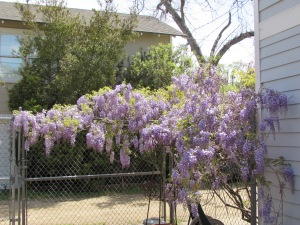 This is the wisteria that grows above the garage taking advantage of our chain link fence.