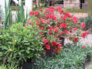 Autumn Embers Encore Azalea waiting for their new home.
