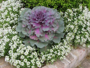 The Sweet Alyssum and Ornamental red cabbage are still going strong and have looked lovely for months now.