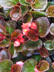 Begonias make a pleasing pop of color in a shady space.