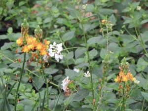 Orange bulbine and white trailing lantana.