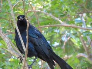 This Grackle was chiding me from his perch in the Crape myrtle. I was disturbing his breakfast!