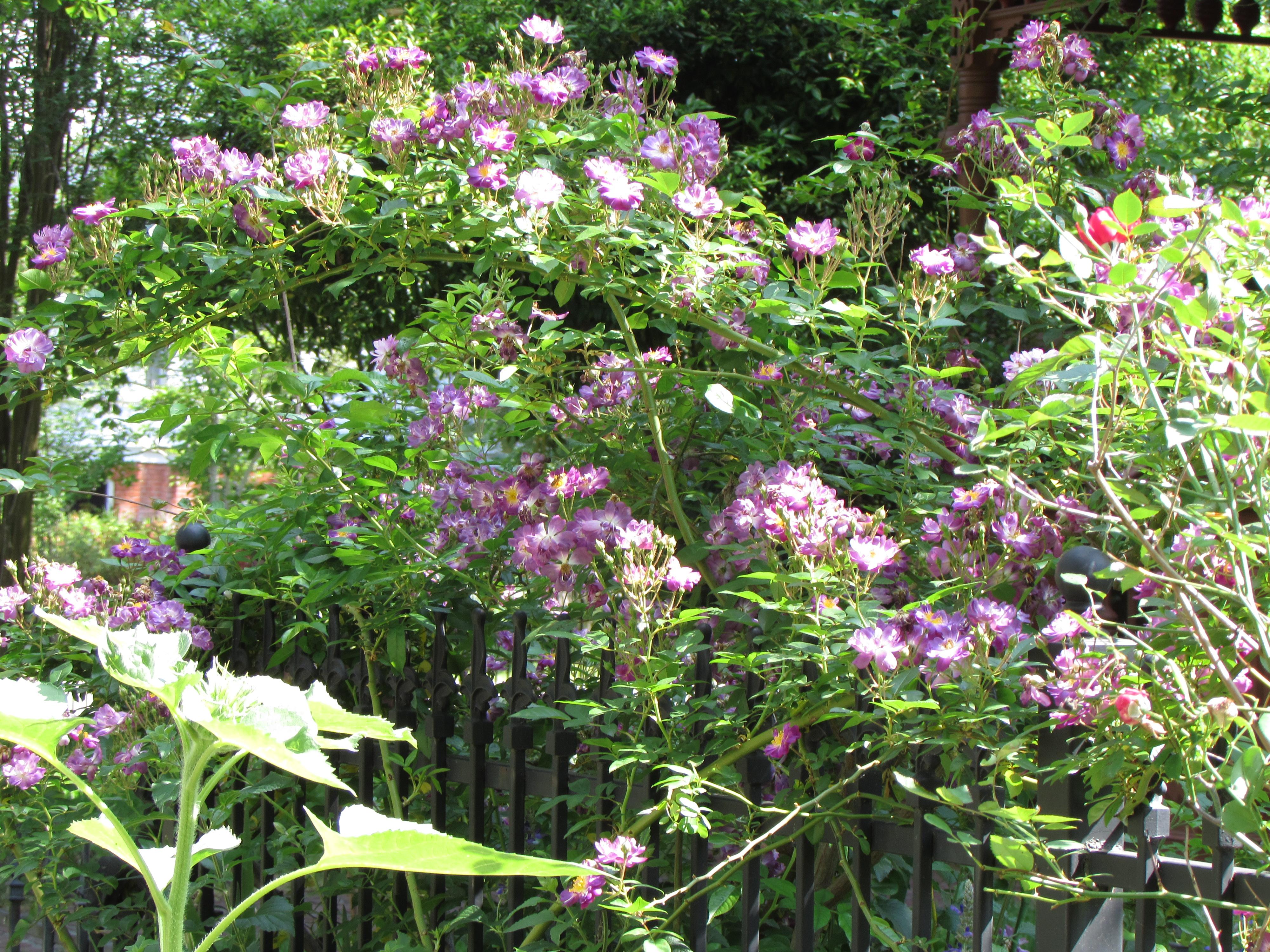 veilchenblau the almost blue rose ravenscourt gardens. Black Bedroom Furniture Sets. Home Design Ideas
