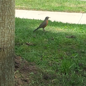 Robin feasting on worms that came up from the soil we disturbed planting the oak.