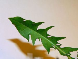 Detail of taxicum leaf. Photo by Greg Hume