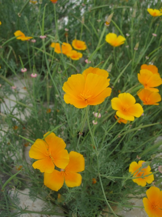 California Poppies at The Lady Bird Johnson Wildflower Center in Austin