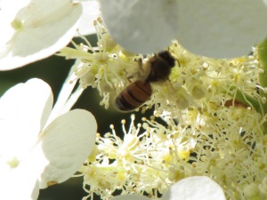 A bee pollinating our Oakleaf hydrangea flowers.