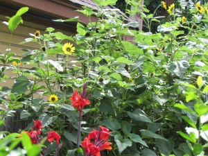 Red Cannas and Black-eyed Susans