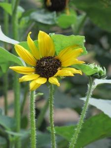 Black-eyed Susans (Rudbeckia hirta