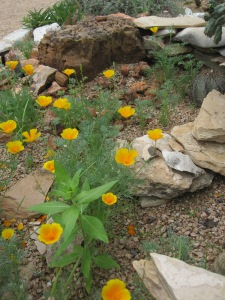 California Poppy at LBJ Wildflower Center