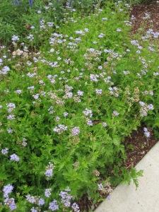 Blue mist flower with butterflies.