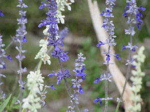 blue mealy sage