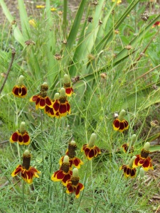 Beautiful Mexican Hats all over the meadow.