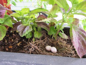 A little nest with eggs hidden in some planters on the upper deck.