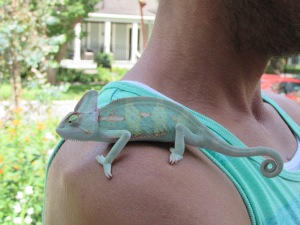One of the home owners with his beautiful cameleon..love the way they match!