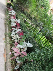Caladium in annual bed at Ravenscourt