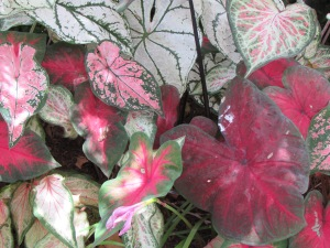 Caladiums at Ravenscourt, photo by Laurin Lindsey
