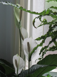 IMG_2864 Peace Lily