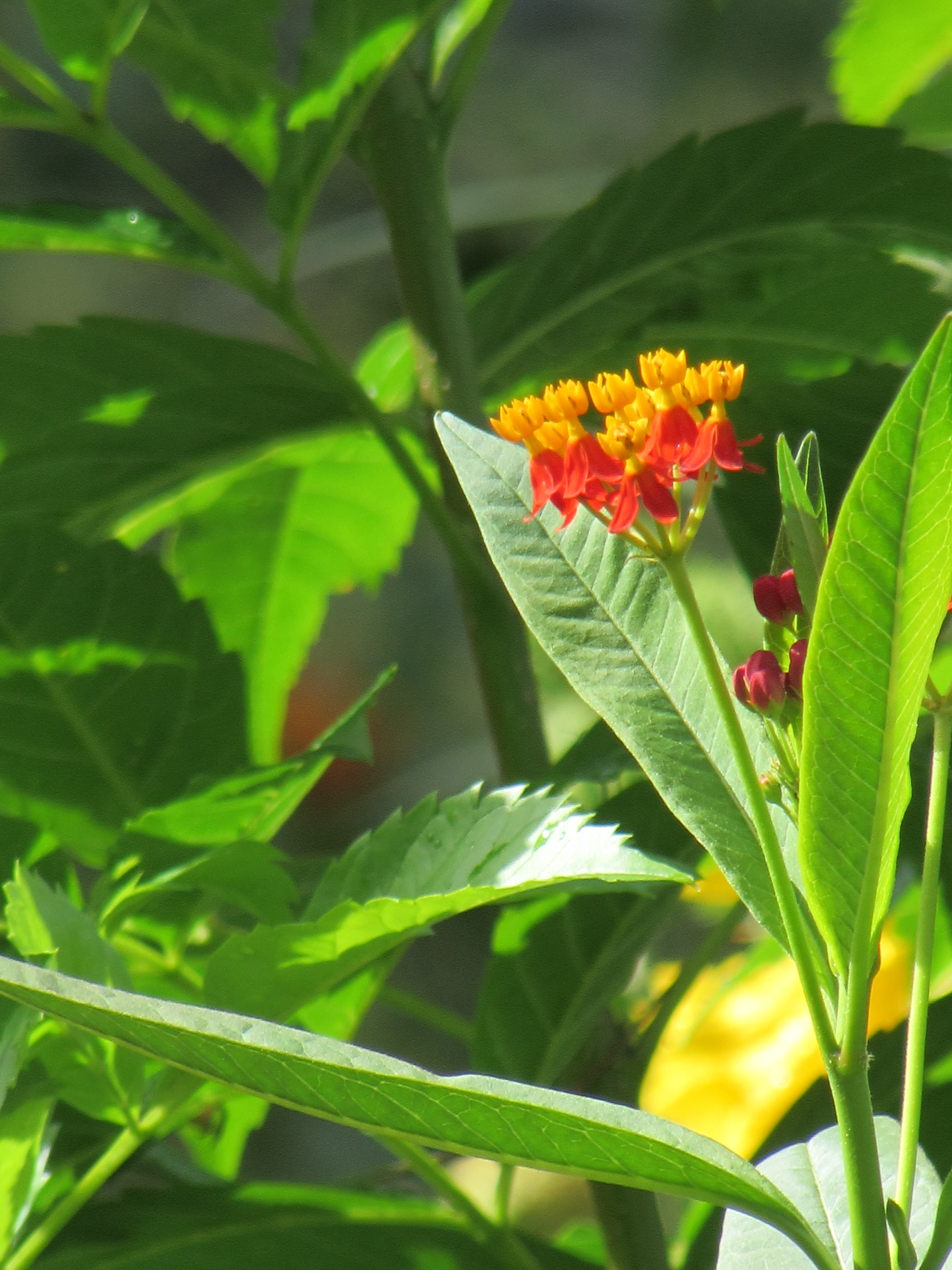 Red Butterfly Milkweed Asclepias Curassavica Red: Arts And Crafts Style Home Full