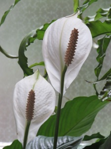 IMG_2909 Peace Lily