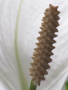 Close up of Peace Lily stamen.