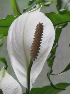 IMG_2918Peace Lily