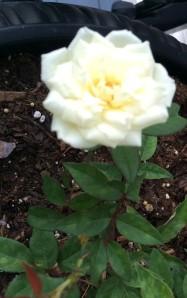 Kelly's Memorial Rose