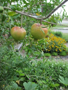 Pomegranates ripening on the tree.