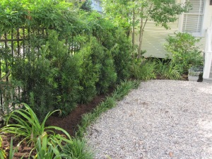 New Japanese yew hedge.
