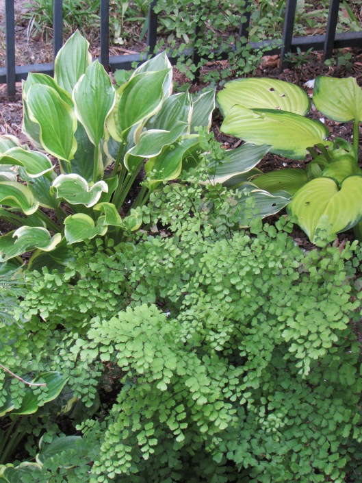 Here are hostas mixed with maiden fern.
