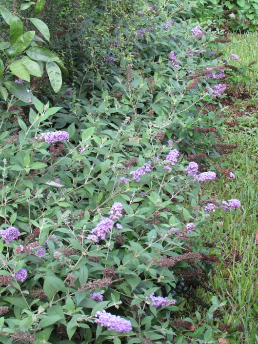 IMG_2681Blue Chip Buddleia, photo by Laurin Lindsey