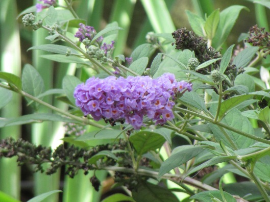 IMG_2698Blue Chip Buddleia, photo by Laurin Lindsey