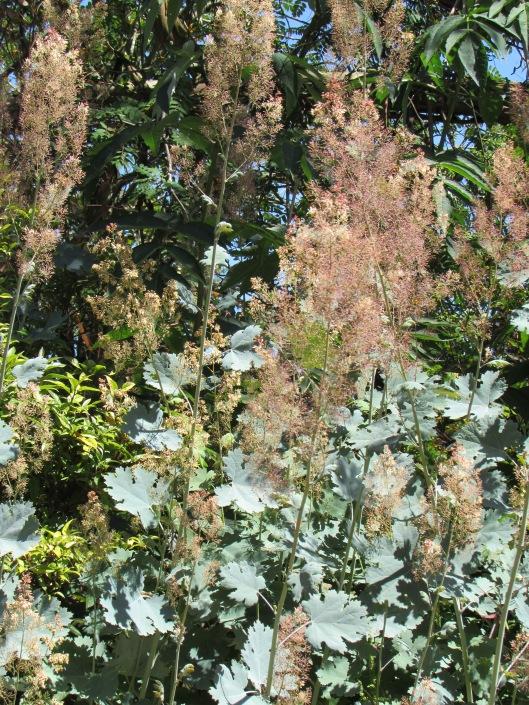 Poppy, Bocconia (Macleaya cordata) at Cistus Nursery